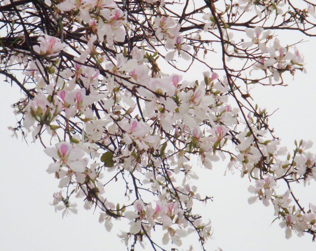 Springtime Hoa Ban flowers in Vietnam
