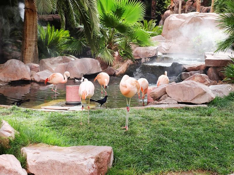 Pink flamingos at the Wildlife Habitat at the Flamingo Hotel