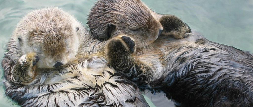 Sea otters holding hands in the water