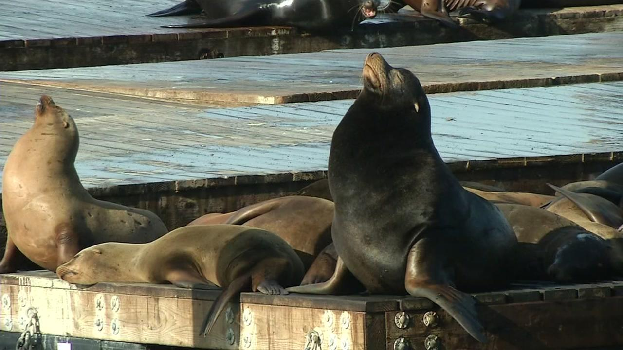Dozens of sea lions are celebrated in January at Fisherman's Wharf in San Francisco