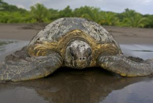 View of a green turtle on the beach in Tortuguero, Costa Rica