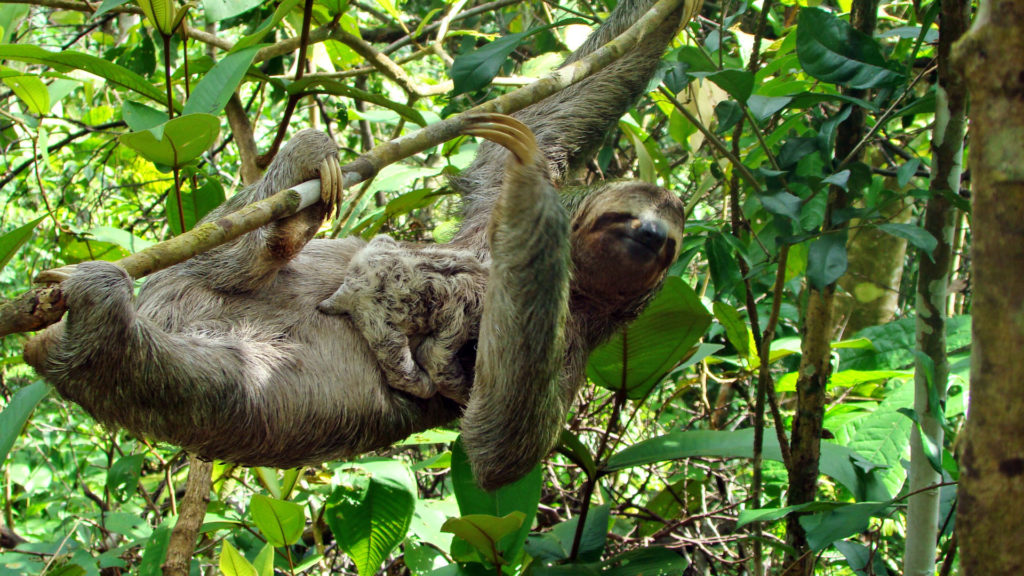 Sloth hanging from a tree with its baby in Costa Rica in February