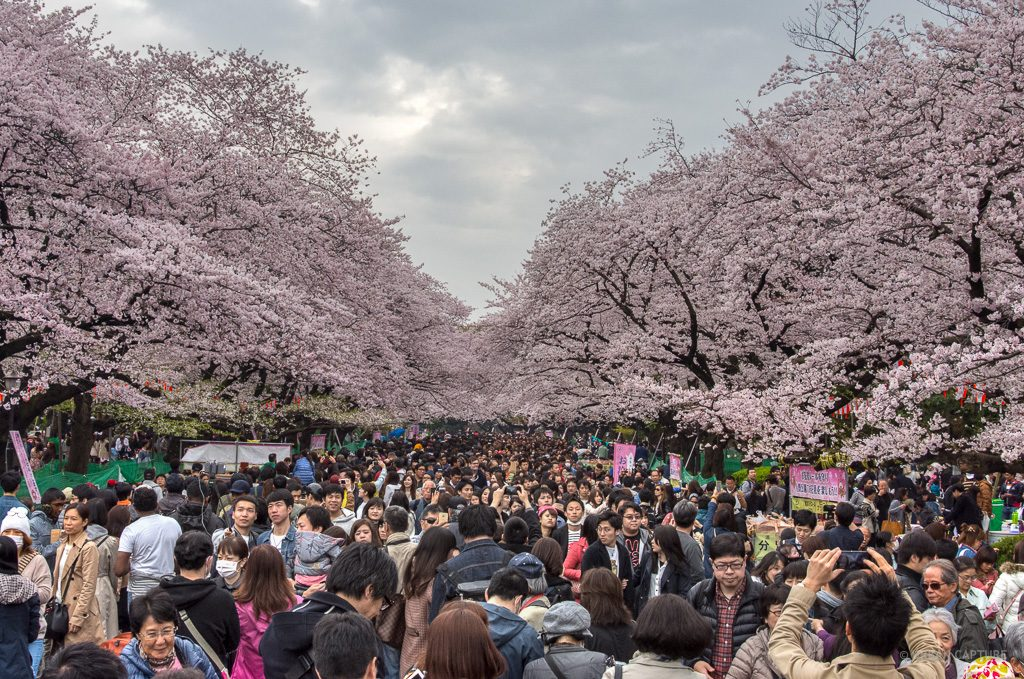 View of the cherry blossoms at Ueno Park in Tokyo
