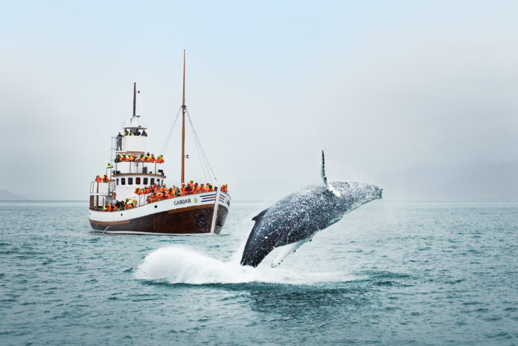 A humpback whale jumps out of the water as there is a boat in the background