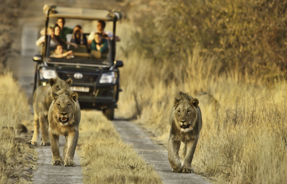 Three lions walk ahead of a safari car in Kruger National Park during the winter