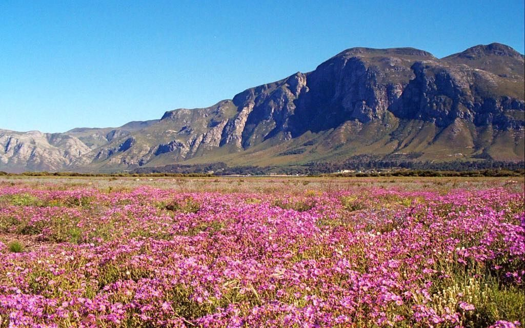 The fields of Garden Route are covered in pink as spring arrives