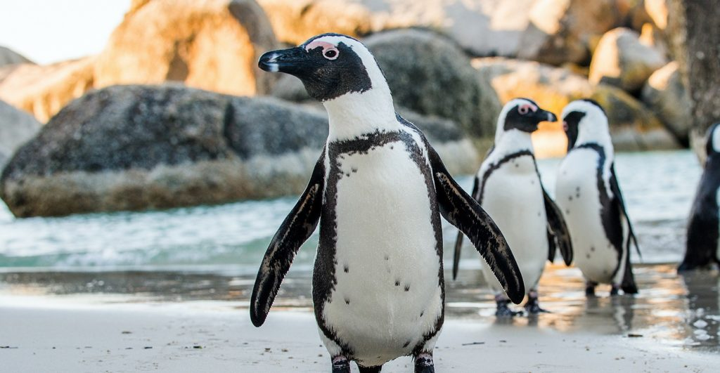 Three African penguins come to the sandy beaches of South Africa in the summer