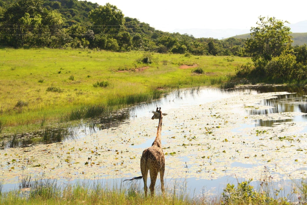 One giraffe stands near the water in the Kruger National Park during the summer, surrounded by lush green vegetation